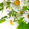 Chamomile nature HD wallpaper