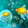 Gold bubbles goldfish bokeh underwater fishes sea HD wallpaper
