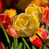 Flowers tulips HD wallpaper