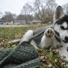 Animals dogs husky HD wallpaper