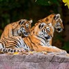 Animaux tigres faune  HD wallpaper