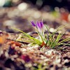 Crocus depth of field ground purple flowers HD wallpaper