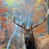 Forest stag HD wallpaper