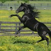 Animals black fences horses mountains HD wallpaper