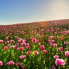 Hillside field of pink poppy flowers HD wallpaper
