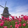 Landscapes nature tulips windmills pink flowers HD wallpaper