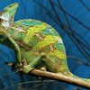 Green chameleon HD wallpaper