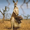 Animals hippopotamus kangaroos photo manipulation HD wallpaper