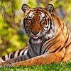 Animals nature tigers widescreen wild HD wallpaper
