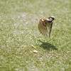 Birds flying grass nature sparrow HD wallpaper
