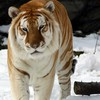 Animals golden mammals tigers HD wallpaper
