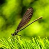 Dragonflies green insects nature HD wallpaper