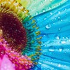 Flowers multicolor rainbows water drops HD wallpaper