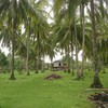 Coconut plantation HD wallpaper