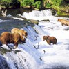 Landscapes fish bears waterfalls rivers salmon HD wallpaper