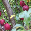 Nature plums trees HD wallpaper