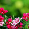 Dark pink flowers HD wallpaper