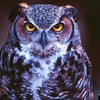 Nature birds animals purple owls HD wallpaper