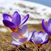 Crocus depth of field flowers nature plants HD wallpaper