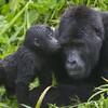 National park uganda animals baby gorillas HD wallpaper