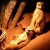 Animals light meerkats HD wallpaper