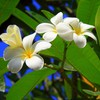 Flowers plants plumeria white HD wallpaper