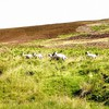 Landscapes nature animals fields hills sheep scotland HD wallpaper