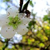 Prunus mume HD wallpaper