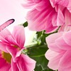 Pink mums so bright HD wallpaper