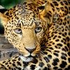 Leopard unconvinced expression HD wallpaper