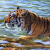 Animals tigers water HD wallpaper