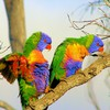 Wildlife birds rainbow lorikeets HD wallpaper