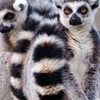Nature white animals wildlife sitting lemur primate lemurs HD wallpaper