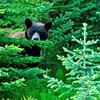Brown bear in the woods HD wallpaper