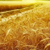 Gold nature wheat HD wallpaper