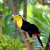 Birds nature toucans HD wallpaper