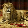 Funny lions circus HD wallpaper