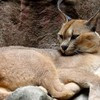 Animals baby caracal nature HD wallpaper