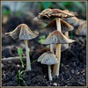 Champignons mushrooms nature HD wallpaper