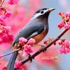 Whiteeared sibia animals birds blossoms pink flowers HD wallpaper