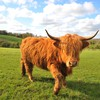 Scotland animals cows fields grass HD wallpaper