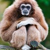 Animals gibbons HD wallpaper