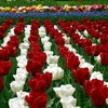 Flowers fields tulips holland HD wallpaper