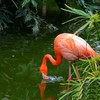 Pink flamingo HD wallpaper