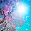 Blossom sun leaves pink trees HD wallpaper