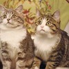 Main coon twin cats HD wallpaper