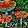 Fly agarics HD wallpaper