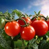 Food tomatoes HD wallpaper