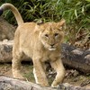 Animals lions baby HD wallpaper