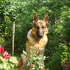 Animals dogs german shepherd HD wallpaper